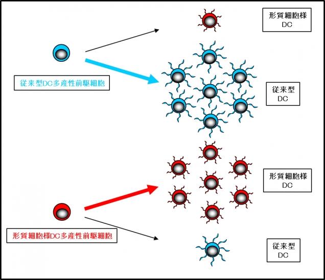 図1.新たな樹状細胞前駆細胞の発見