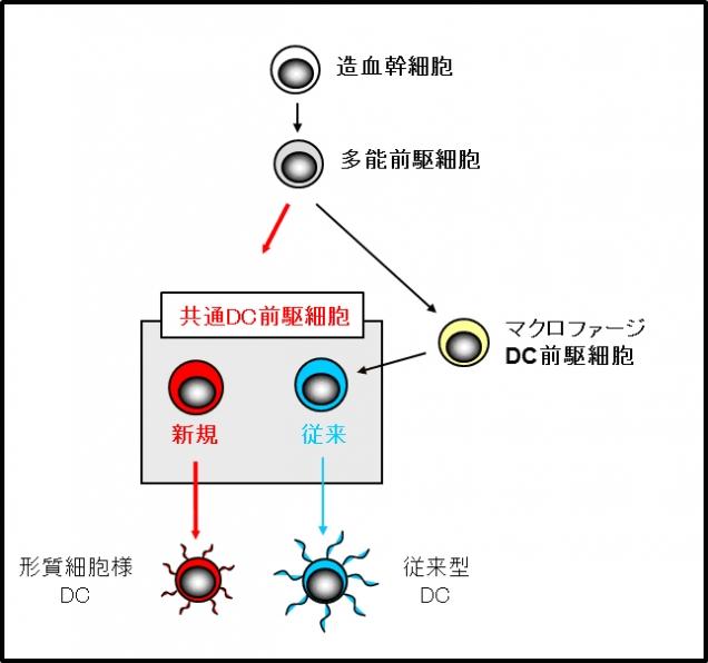 図3.共通樹状細胞前駆細胞は多能前駆細胞から分化してくる