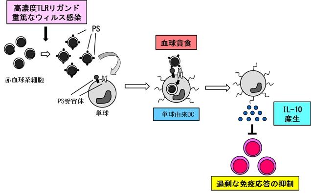 図4 血球貪食メカニズムのまとめ