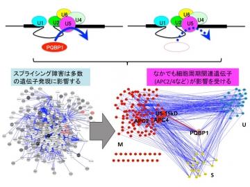 【図3】スプライシング異常が細胞周期延長を起こす