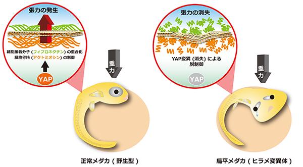 図1 大規模スクリーニングによって単離された扁平メダカ hirame(ヒラメ)変異体