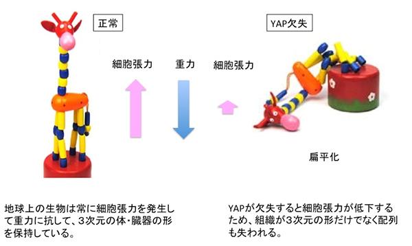 図2 YAP変異(消失)は細胞張力低下による体および臓器の扁平化を引き起こす(イメージ図)