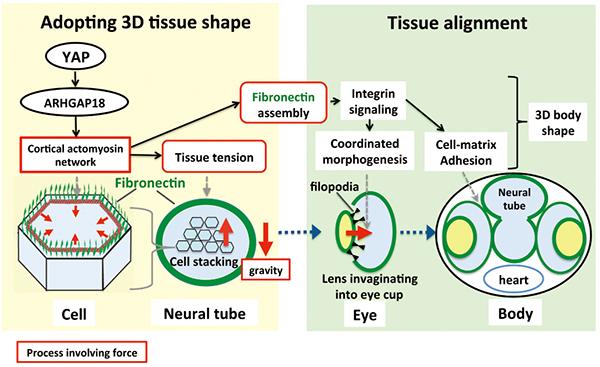 図3 YAPは細胞張力の調節を介して3次元臓器の形成を制御する