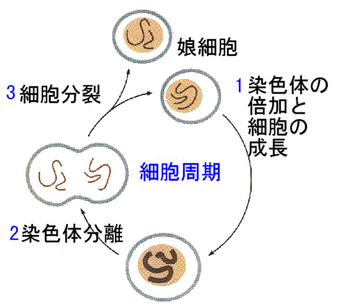 細胞分裂と細胞周期