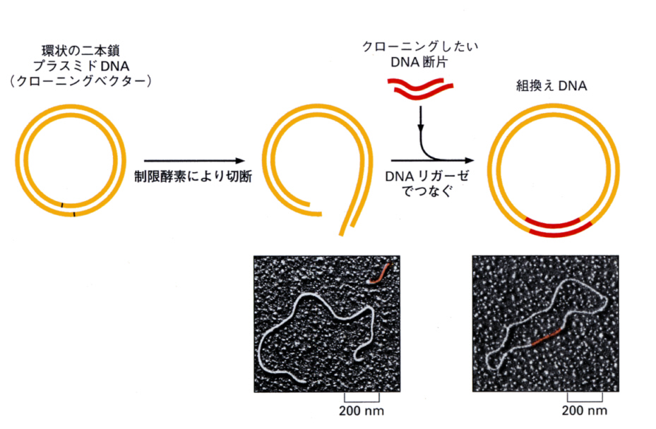 ベクター (遺伝子工学) - Vector (molecular biology) - JapaneseClass.jp