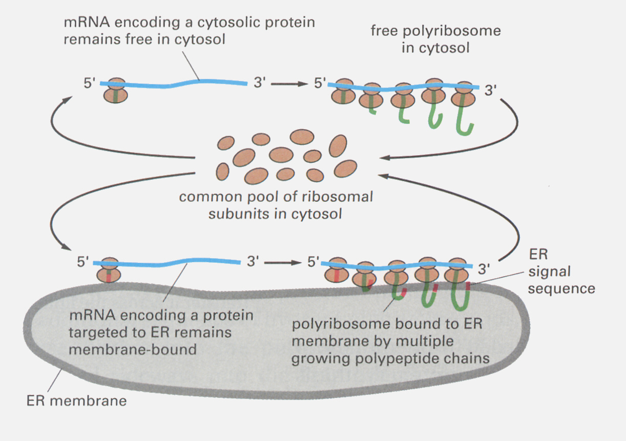 ER and ribosomes