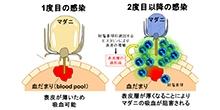 「マダニ吸血を阻害する免疫物質の同定」【吉川宗一郎 助教】