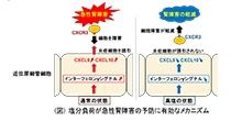 「塩分負荷が腎臓の近位尿細管細胞のインターフェロンγ誘導性の免疫応答を抑制する」【蘇原映誠 准教授】