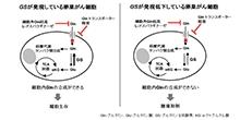 「卵巣がんの腫瘍細胞におけるアミノ酸要求性の解明」【稲澤譲治 教授、井上純 講師】