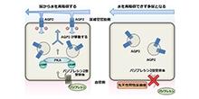 「FMP-API-1が腎臓において尿濃縮に重要な水チャネルを強力に活性化する」【内田信一 教授】