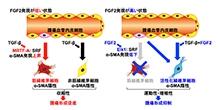 「がんを進展させるがん関連線維芽細胞の血管内皮細胞からの形成を抑制するしくみを解明」【渡部徹郎 教授】