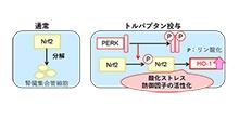 「バゾプレシン2型受容体拮抗薬トルバプタンが酸化ストレス防御因子を活性化する」【安藤史顕 寄附講座助教】