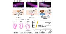 「変異型タンパク質の細胞質への蓄積が拡張型心筋症を重症化する」【井原健介 助教、黒柳秀人 准教授】