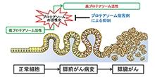 「膵臓がん発症の早期段階にタンパク質分解酵素複合体の活性化が必要であることを発見」【田中真二 教授】