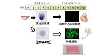 「発生初期の器官形成の鍵となる組織の分化に必要な代謝経路の解明」【仁科博史 教授】