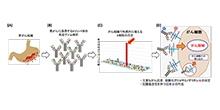 「主要ながん免疫抗原である硫酸化グリコサミノグリカンの同定」【石川俊平 教授】