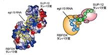 「2つのタンパク質が協働してRNAを認識する新しいしくみの解明」【黒柳秀人 准教授】