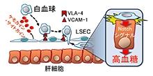 「肝臓内の細胞間接着・接触が糖代謝異常を引き起こすメカニズムを発見」【小川佳宏 教授】