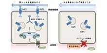 「腎臓において尿濃縮に重要な水チャネルをWnt5aが活性化する」【内田信一 教授】