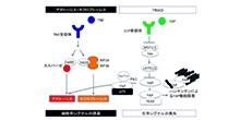 「ハンチントン病の新しい治療戦略を開発」【岡澤均 教授】