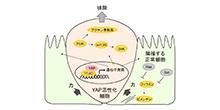 「異常な細胞の除去を誘導する新たな仕組みの解明に成功」【仁科博史 教授】