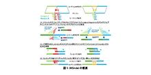 「正確な中間サイズのゲノムへのDNA塩基配列挿入・欠失同定手法の開発」【角田達彦 教授】
