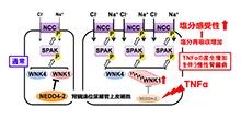 「TNFαはWNKシグナルを活性化し慢性腎臓病の塩分感受性高血圧発症に関わる」【蘇原映誠 准教授】