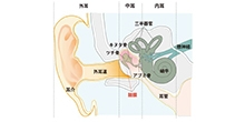 「鼓膜の発生過程が従来の理解と異なることを発見」【武智正樹 テニュアトラック助教】