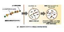 「超分子構造ポリマーを利用したライソゾーム病治療薬の開発」【田村篤志 助教、由井伸彦 教授】