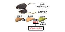 「既存の薬剤が非アルコール性脂肪肝炎(NASH)に有効であることをマウスにおいて確認」【小川佳宏 教授】
