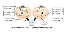「細胞質に存在するゲノムDNAの断片が遺伝子発現制御に関わることを発見」【横田隆徳 教授】