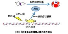 「DNA損傷応答を担う分子ATMが脂肪細胞の分化を制御し、糖の代謝を調節する」【高木正稔 講師】