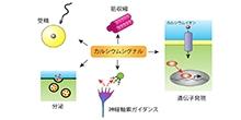 「光で細胞内カルシウムシグナルを自在に操る技術を開発」【中田隆夫 教授】