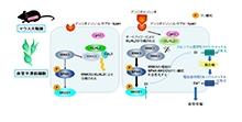 「アンジオテンシンIIによる血管収縮にオートファジーが関与」【内田信一 教授】