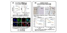 「肝がんがロイシン欠乏耐性を獲得するメカニズムを解明」【田中真二 教授】