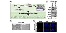 「難治性がんに腫瘍抑制効果を示すマイクロRNAを同定」【玄泰行 助教、稲澤譲治 教授】