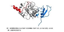 「PQBP1遺伝子変異が関与する知的障害の原因を解明」【岡澤均 教授】