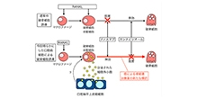 「カンナビジオールは腫瘍性破骨細胞の誘導を抑制する」【池田通 教授】
