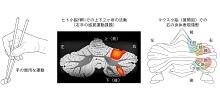 「小脳の二重身体表現を解明」【杉原泉 教授】