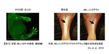 「転写因子Mkxの歯根膜における機能解明」【浅原弘嗣 教授】