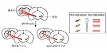 「ミクログリアのCav1.2カルシウムチャネルの神経変性疾患における役割を解明」【田邊勉 教授】