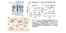 「表皮ランゲルハンス細胞のPD-L2サイレンシングは,接触過敏症を抑制する」【東みゆき 教授】