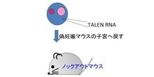 「新しい遺伝子改変技術の応用による小さなRNAの欠損マウスの作成に成功」【浅原弘嗣 教授】