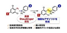 「細胞中でも使える分子連結法の開発に成功」【細谷孝充 教授、吉田優 准教授】