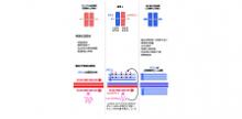 「指定難病の鏡-緒方症候群はRTL1遺伝子の過剰発現で発症する」【石野史敏 教授】