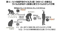 「アフリカに生息するサルから分離されたサル免疫不全ウイルスのVpuタンパク質はヒトの抗ウイルスタンパク質BST-2の機能を妨害する 」【芳田剛 助教、山岡昇司 教授】