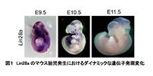 「脊椎動物のボディープランの上位遺伝子プログラムを解明」 【淺原弘嗣 教授】