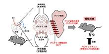 「グリア細胞の異常が引き起こす慢性疼痛の仕組みを解明」【田中光一 教授】