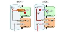 「摂りすぎたカリウムを腎臓がすぐに尿に排出する仕組みを発見」【内田信一 教授】