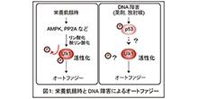 「放射線による細胞死を抑制する新たなメカニズムを解明」【清水重臣 教授】
